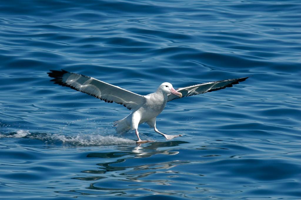 AlbatrosNeuseeland01-1024x681 Ozeanien