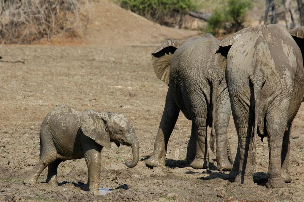 Elefanten01-1024x681 Afrika