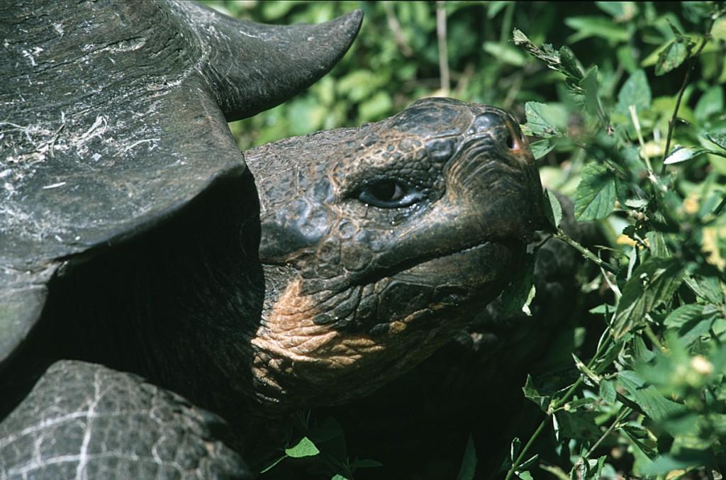 ElefantenschildkroeteGalapagos01-1024x677 Galapagos