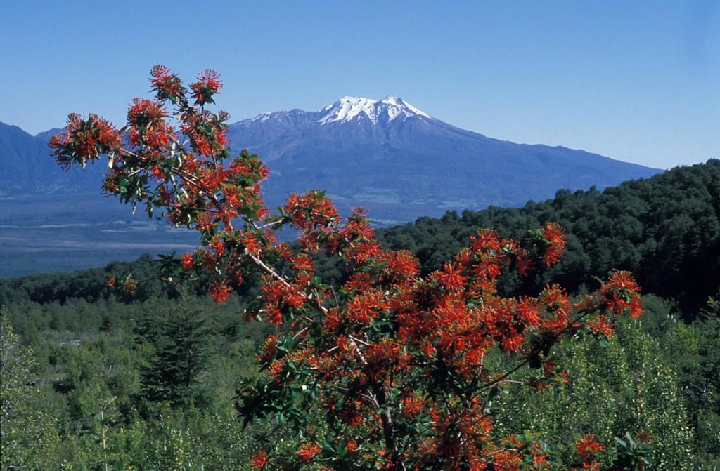 FeuerstrauchChile01-1024x671 Chile