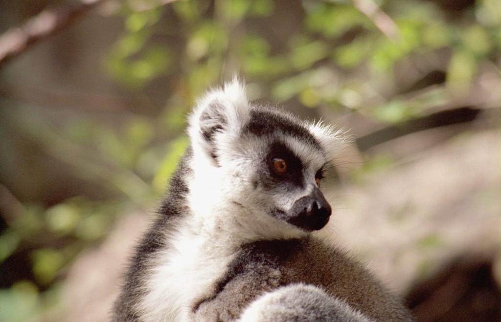 Katta01-1024x659 Madagaskar