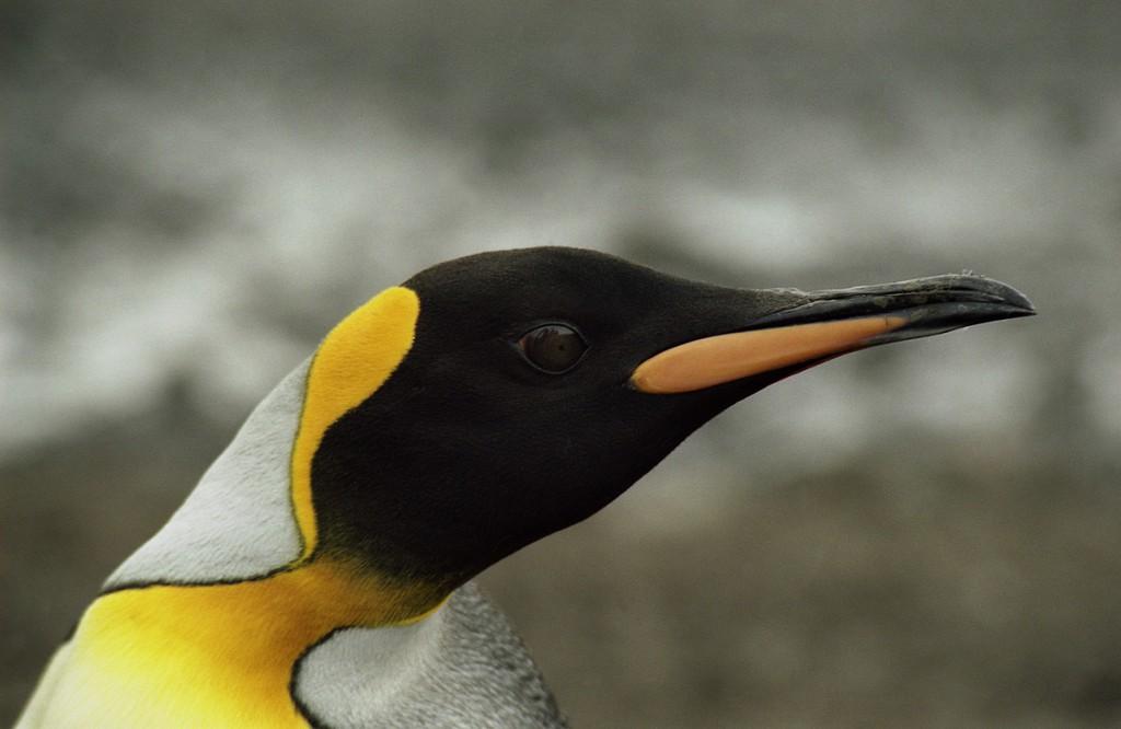 Koenigspinguin01-1-1024x666 Antarktis