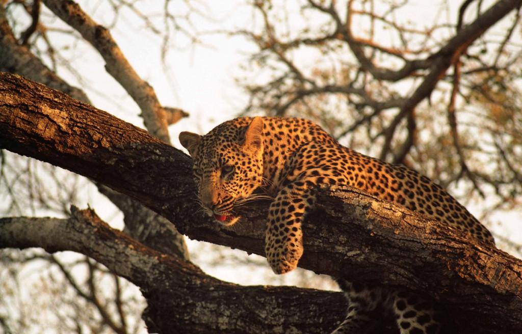 LeopardSuedafrika01-1024x656 Südafrika