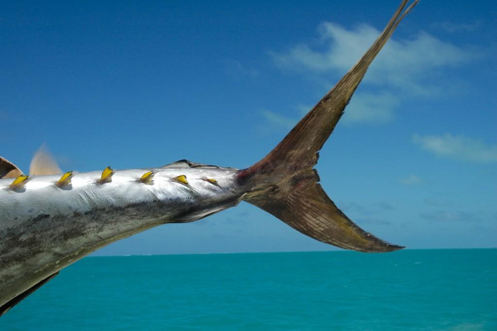 ThunfischCookinseln-1024x681 Cook Inseln