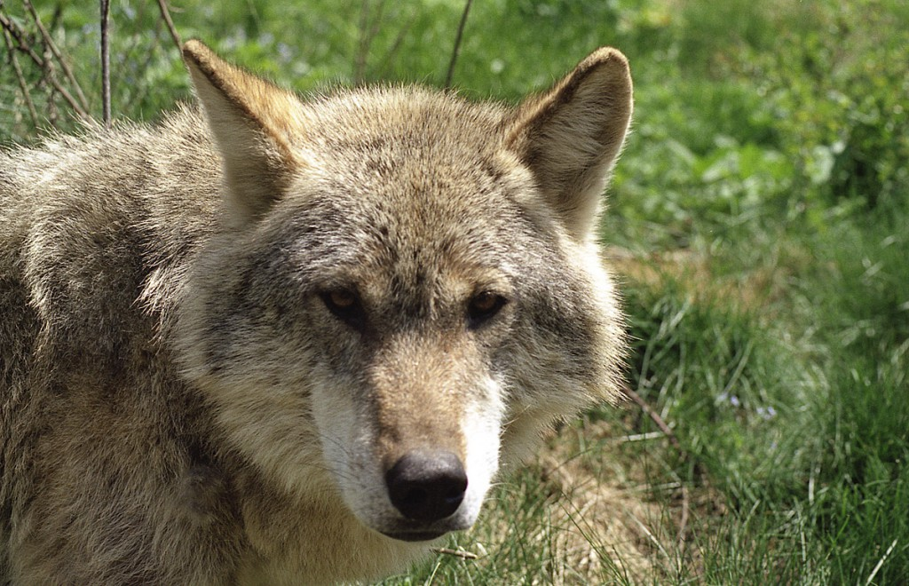 Wolf01-1024x660 Rumänien