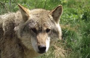 Wolf01-300x194 Umwelt- und Naturschutz