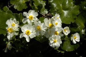 10NZ_25_DSC0088-300x200 Pflanzen