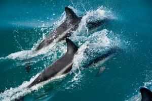 NZ06-Delfin03-300x200 Tiere