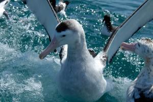 NZ09-Albatros02-300x200 Tiere